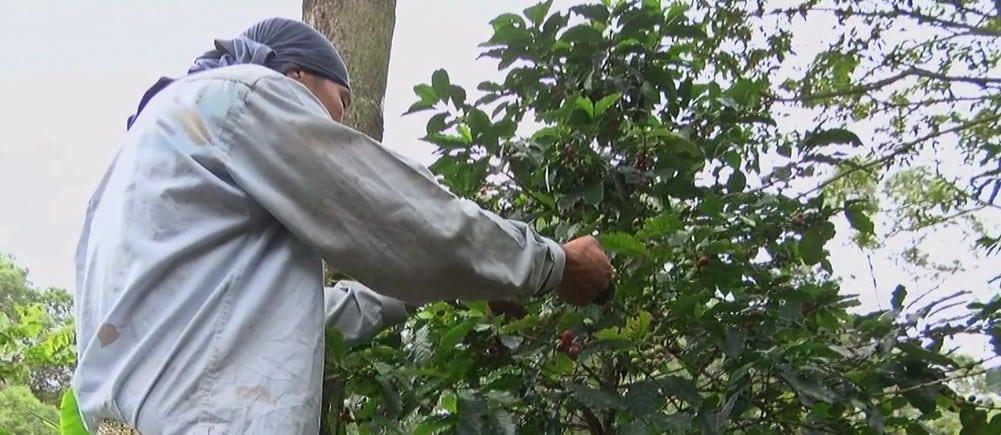 Listos los protocolos de bioseguridad para la cosecha cafetera en Antioquia