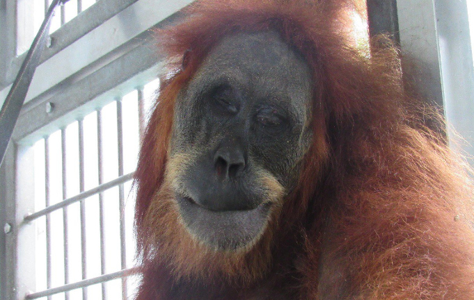 Orangután fue rescatado tras recibir 74 disparos de perdigón