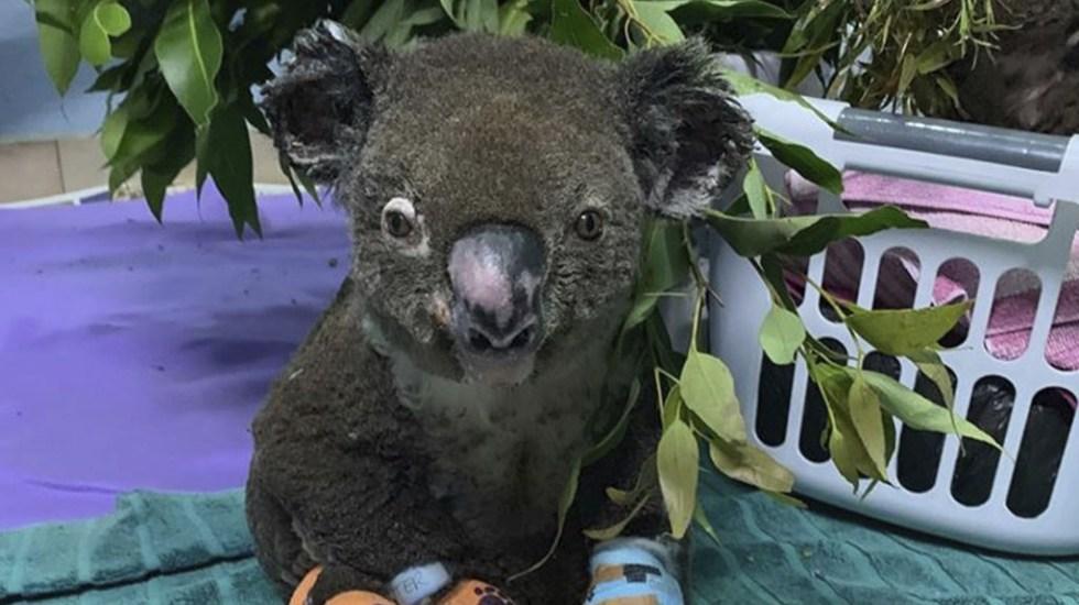 Murió Lewis, koala que sobrevivió a incendio en Australia