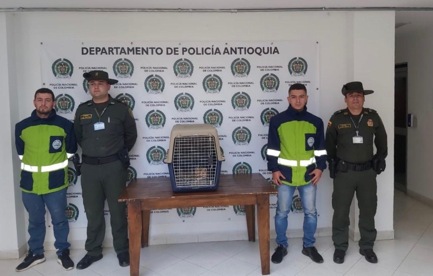 Autoridades rescataron ocelote en Marinilla