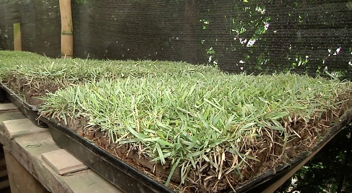 Con grama natural paisas crean tapete para que mascotas hagan sus necesidades